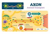 Axon Vector Illustration. Labeled Diagram With Explanation And Structure. Closeup With Cell Body, Te poster