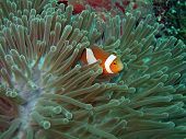 picture of clown fish  - Anemone and Nemoish - JPG