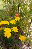 Yellow French Marigolds Grow Alongside Ripening Tomatoes As Companion Planting To Deter Pests poster