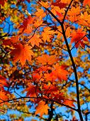 red maple tree leaves in blue sky