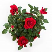 House little beautiful red rose in pot isolated on white. Dwarf rose.  poster
