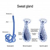 Sweat Gland. Merocrine And Apocrine. Different Of Manner Of Secretion. Cross-section Of The Human Sk poster