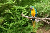 picture of green-winged macaw  - macaw on the branch - JPG