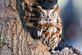 picture of screech-owl  - Eastern screech owls are found in two color  - JPG