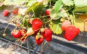 Macro Of Red Strawberry Hanging Farm Full Of Ripe Strawberries In Strawberry Farm poster