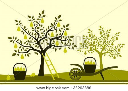 PEAR oogst