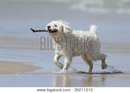 Small White Dog Retrieving a Stick From the Water