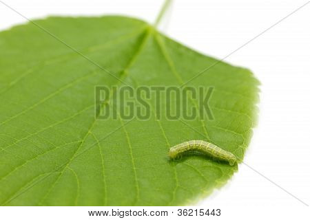 Hazel leaf (Corylus Avellana)