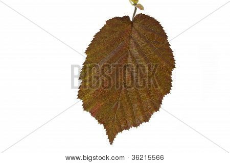 Brown hazel leaves (Corylus maxima)