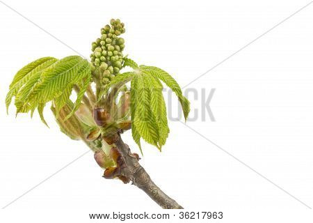 Buds and spring leaves of a chestnut tree