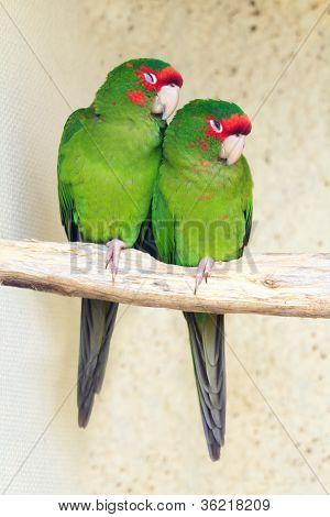 Two Mitred Parakeet