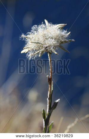 Autumn edelweiss