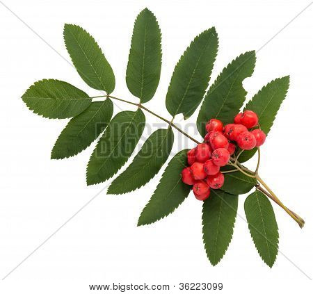 Rowanberries With Leaves