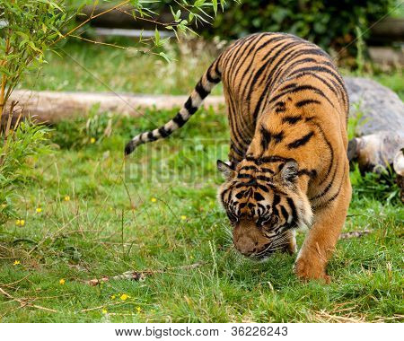 Young Sumatran Tiger Sniffing Wet Grass