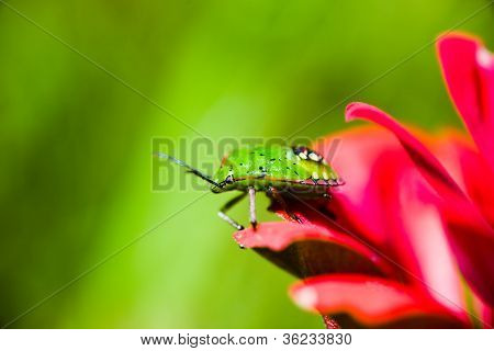 Southern green stink bug larva on red flower's petals on green