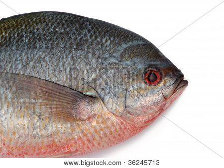Yellowtail fusilier fish
