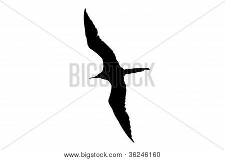 Frigatebird Silhouette