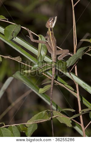 Brown basilisk - Basiliscus vittatus