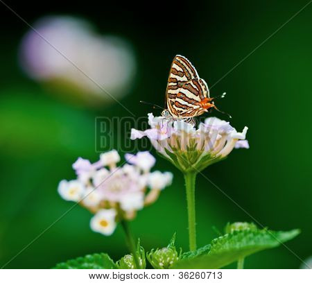 Butterfly Common Silverline Spindasis Vulcanus Closeup Copy Space