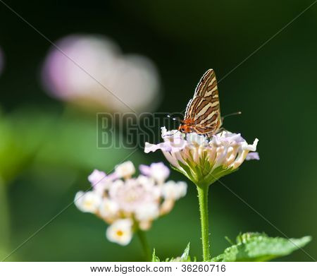 Butterfly, Common Silverline, Spindasis Vulcanus, Sucking Honey From Flower,  Pollinate, Close Up, C