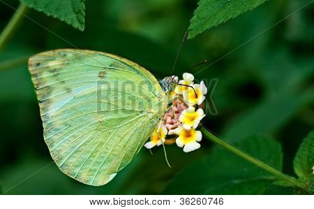 Butterfly Common Emigrant Catopsilia Piomona Flower Closeup Copy Space