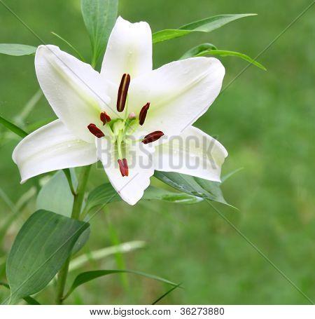 white Christmas Lily