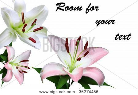 Lily Flowers