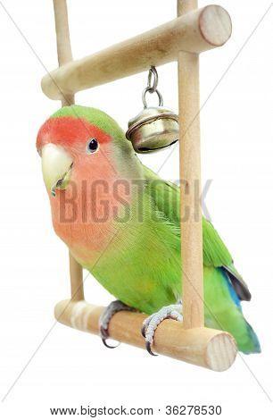 Lovebird On Swing