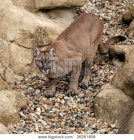 Puma On Rock Crouching Ready To Pounce
