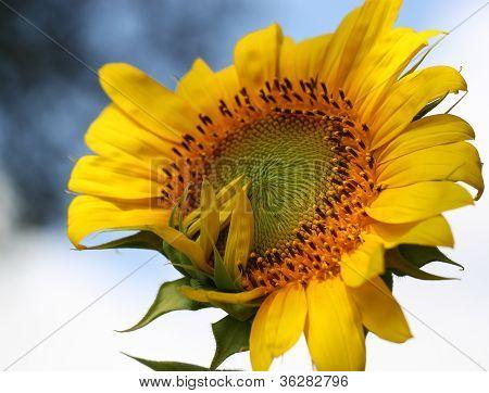 Sunflower Blowing Kiss