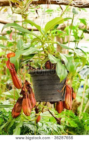nepenthes or pitcher plants or monkey cups