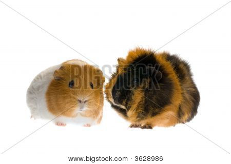 Two Guinea  Pig