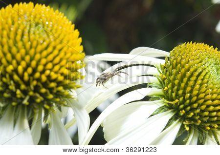Spider Xysticus Cristatus On Echinacea Flower