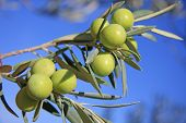 picture of olive branch  - Few green olives in a tree branch - JPG