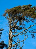 image of windswept  - Windswept Trees on a Clear Sunny Day - JPG