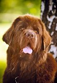 picture of newfoundland puppy  - happy dog brown Newfoundland portrait in summer - JPG