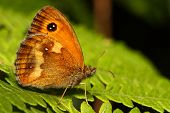 stock photo of gatekeeper  - A Gatekeeper Butterfly  - JPG