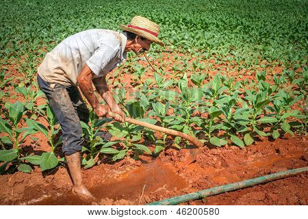 Farmer Working On His Tobacco Field In Vinales, Cuba