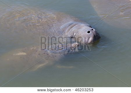 Manatee Mother And Youngster
