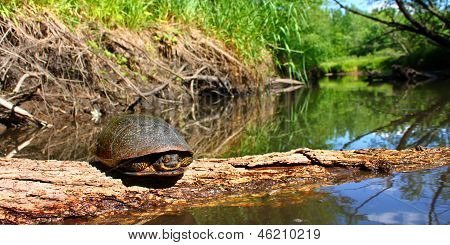 Blandings tortuga Illinois Stream