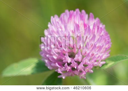 Flower Of Red Clover