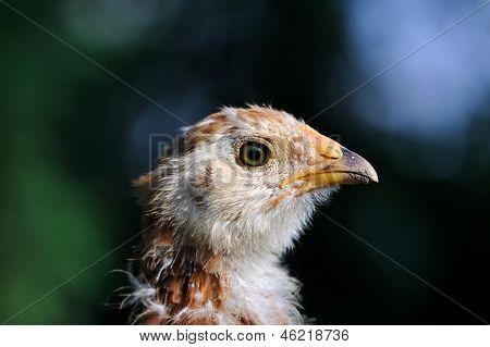 Primer plano de pollo bebé moteado