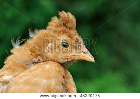 Young Crested pollo close-up