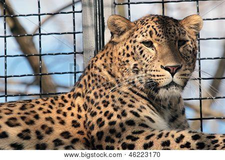 Leopard en la jaula de un zoológico