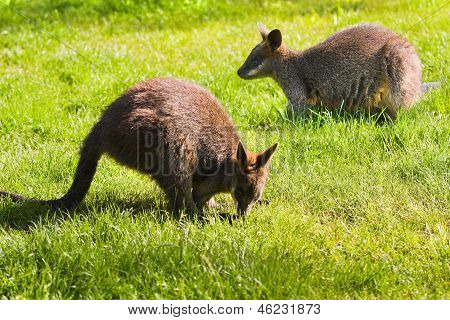 Swamp- Or Black Wallabies Eating Grass