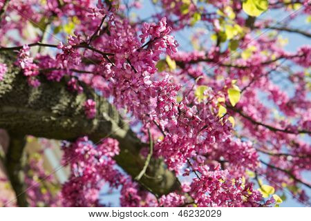 Pink Flowers Judas Tree Or Cercis Siliquastrum In Spring