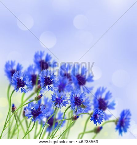 blue corn flower in field