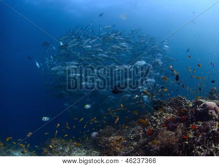 Swirling school of Jack fish by coral reef
