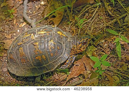 Box Turtle In A Deciduous Forest