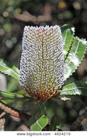 The Australian Wildflower Banksia Conferta Penicillata.